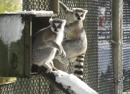 Long Island Ring-Tailed Lemurs