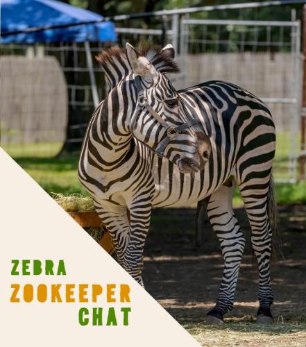 Zebra Chat