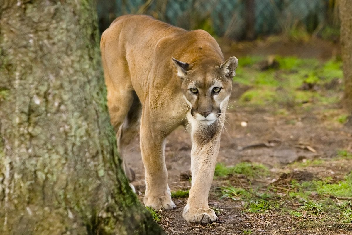 Long Island Game Farm's Beloved Cougar Passes