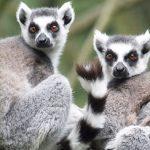 Long Island Game Farm ring-tailed lemurs