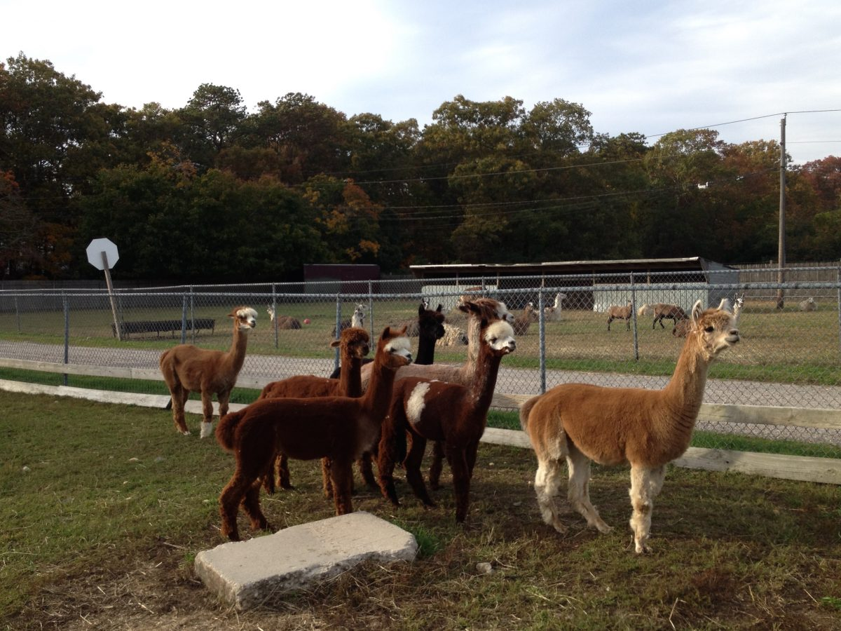 Newly Acquired Alpacas Join the Long Island Game Farm's Family Just in Time for the Grand Opening