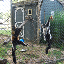 Long Island Game Farm lemurs