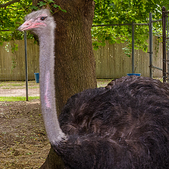 Long Island Game Farm ostriches