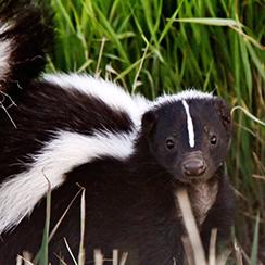 Long Island Game Farm skunk
