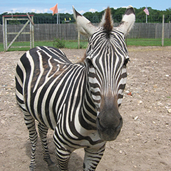 Long Island Game Farm zebra