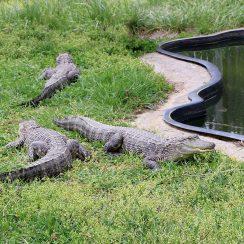 long island game farm alligator