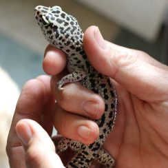 long island game farm gecko