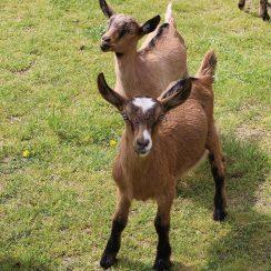 long island game farm goats