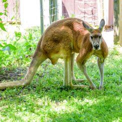 long island game farm kangaroos