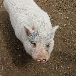 long island game farm pig