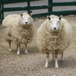 long island game farm sheep