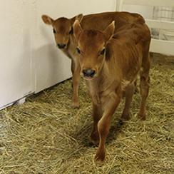 long island game farm cowpic