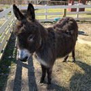 Meet Shaggy, the Donkey