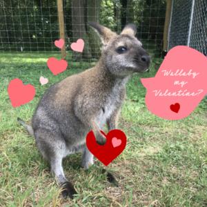 wallaby valentine