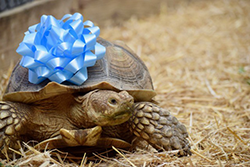 YOUR PARTY WILL BE VISITED BY OUR RESCUED TORTOISE, SPEEDY, WITH AN EDUCATION STAFFER WHO WILL GIVE THE KIDS AN OPPORTUNITY TO LEARN ALL ABOUT AFRICAN TORTOISES! GREAT PHOTO OPPORTUNITY! $50 FOR APPROXIMATELY 20 MINUTES.